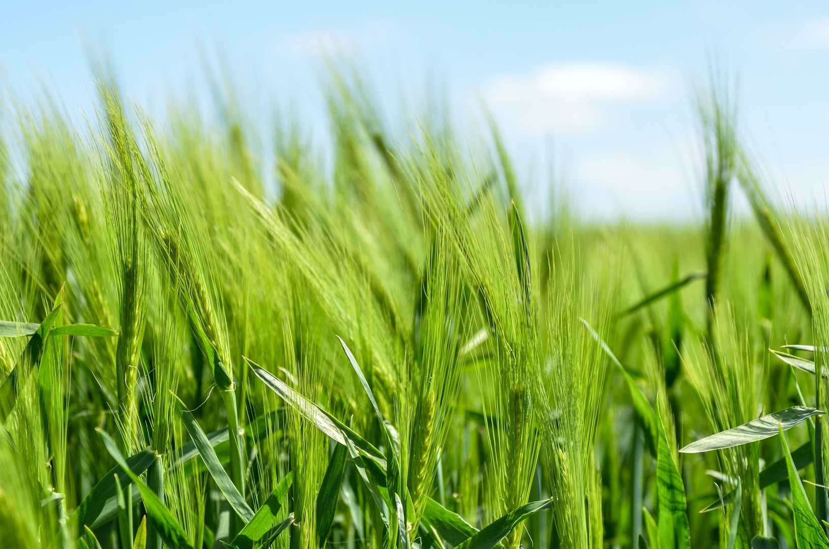 grass-plant-field-lawn-meadow-barley-13566-pxhere.com